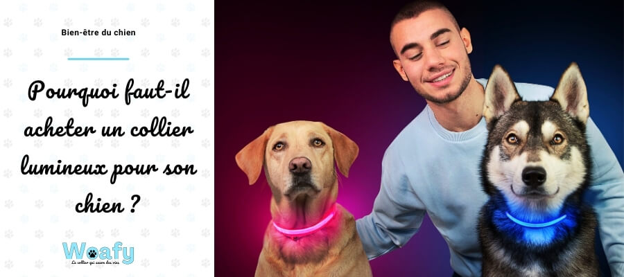 collier, chien, lumineux, led, protection, balade, nuit